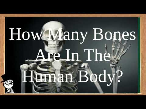How Many Bones Are In The Human Body