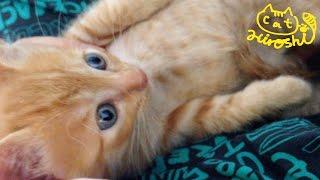 茶トラ子猫拾った直後で警戒中~ その①  ここどこ? Cute kitty first day at home thumbnail