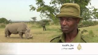 جهود بكينيا لحماية وحيد القرن الأبيض من الانقراض