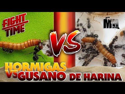 HORMIGAS VS GUSANO | Hormigas Messor Barbarus