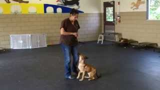 Ashley O'byrne Black Jack K9 Dog Training Knox 12 Wks Ob