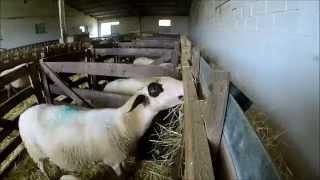 [GoPro] Une journée à la ferme durant l'agnelage ! Automne 2015 !