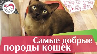 5 самых добрых пород кошек на ilikepet