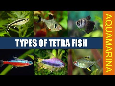 Types Of Tetra Fish   All Tetra Fish Varieties   Know Your Tetra Fish