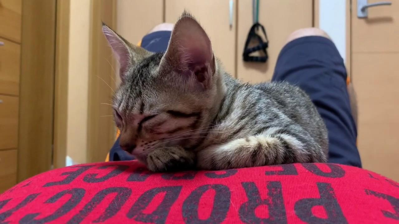 【保護子猫】子猫のタロちゃんは眠くなると寝にきます。それがタロちゃんです。