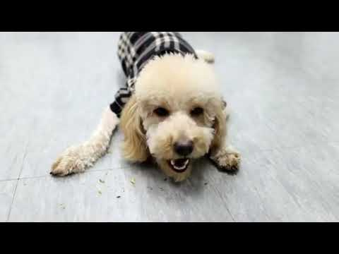 Try Not To Laugh -Funny Dogs video- Dog Videos -Best Dogs Videos