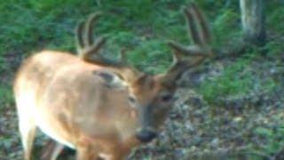 MONSTER BUCK in velvet eating Nutra Deer Mineral