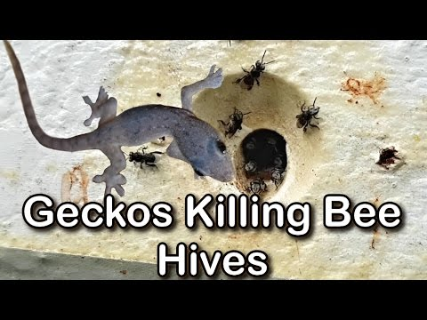 Geckos Eating Bees & Destroying Hives