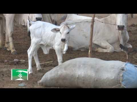 FARMERS MARKET: STORY OF DANGWALA FULANI PASTORALISTS
