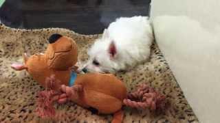 Westie Puppy (empire Puppies)
