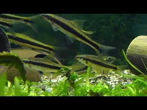 Siamese Algae Eaters + False Siamensis HD Video