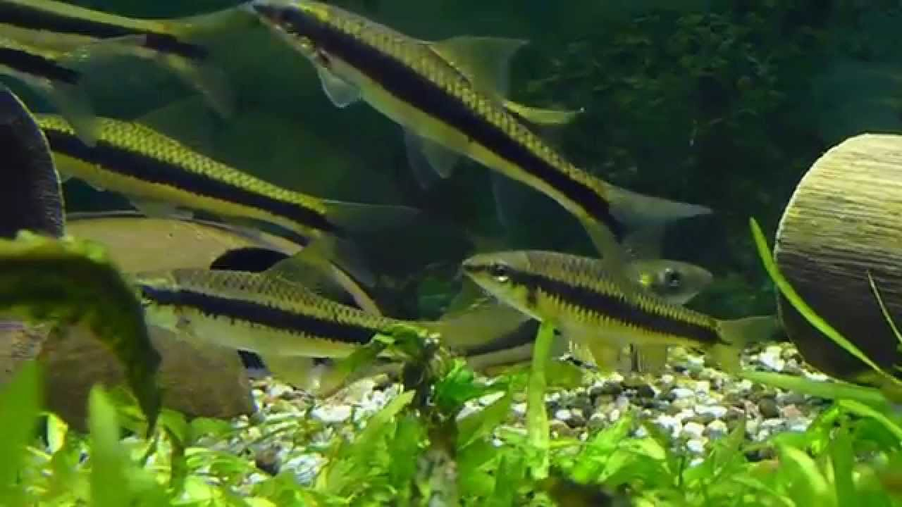 Siamese Algae Eaters + False Siamensis HD Video - YouTube