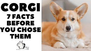 CORGI  Before You Chose a CORGI (7 Facts).  How to live with a CORGI Dog (in 2021)?