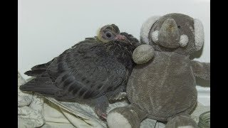 Rescued Baby Pigeon Was Feeling Lonely, So Rescuers Got Him An Unusual Friend