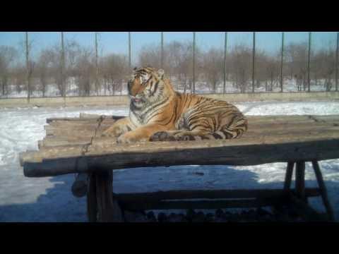 Harbin's Siberian Tiger Park