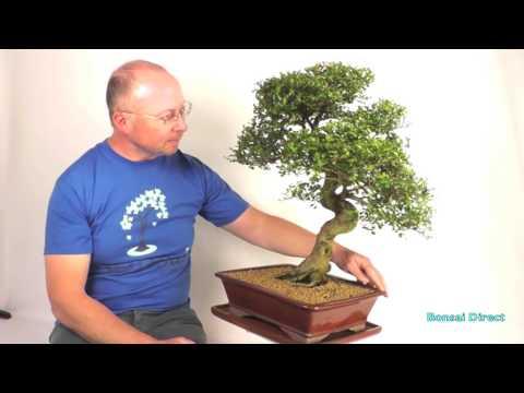 Extra Large Chinese Elm Bonsai