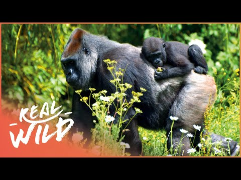 Gorillas In The Mountain Mist [Gorilla Survival Documentary] | Wild Things