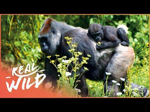 Gorillas In The Mountain Mist [Gorilla Survival Documentary] | Real Wild