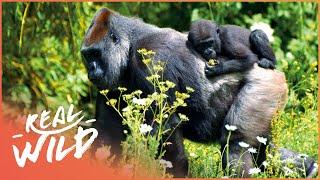 Gorillas Surviving In The Jungle Mountains | Gorillas In The Mountain Mist | Real Wild