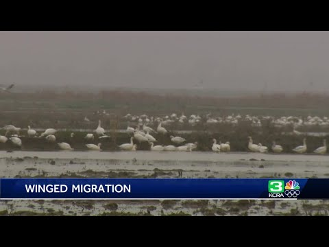 California's rice crop attracts migratory birds to Sacramento region
