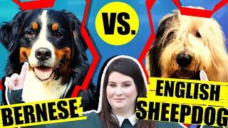 BERNESE MOUNTAIN DOG VS OLD ENGLISH SHEEPDOG