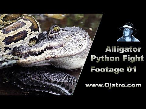 Small Alligator vs Big Python 01 Stock Footage