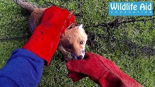 Gopro Animal Rescue - Fox Trapped In A Net