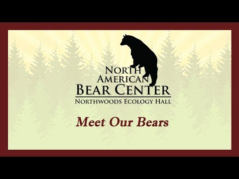 Meet Our Bears - North American Bear Center, Ely, MN