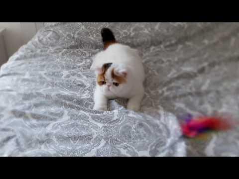 Kobano  Sweet Bottom,exotic shorthair kitten,6 month