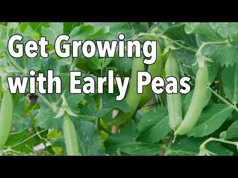 Get Growing with Early Peas