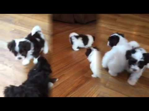 Chocolate Havanese Puppies! 6 Weeks Old! :)