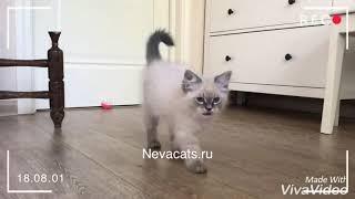 Handsome Nevamasquerade kitten. Красивый Невский маскарадный котёнок.
