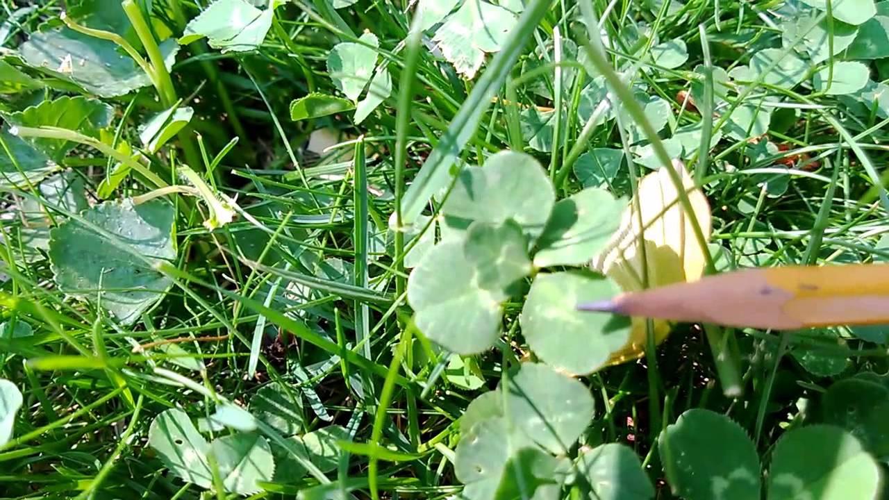 Real Five Leaf Clover