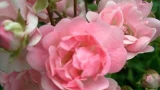 My Choice - Franz Lehár: Wilde Rosen Walzer (Wild Roses Waltz)