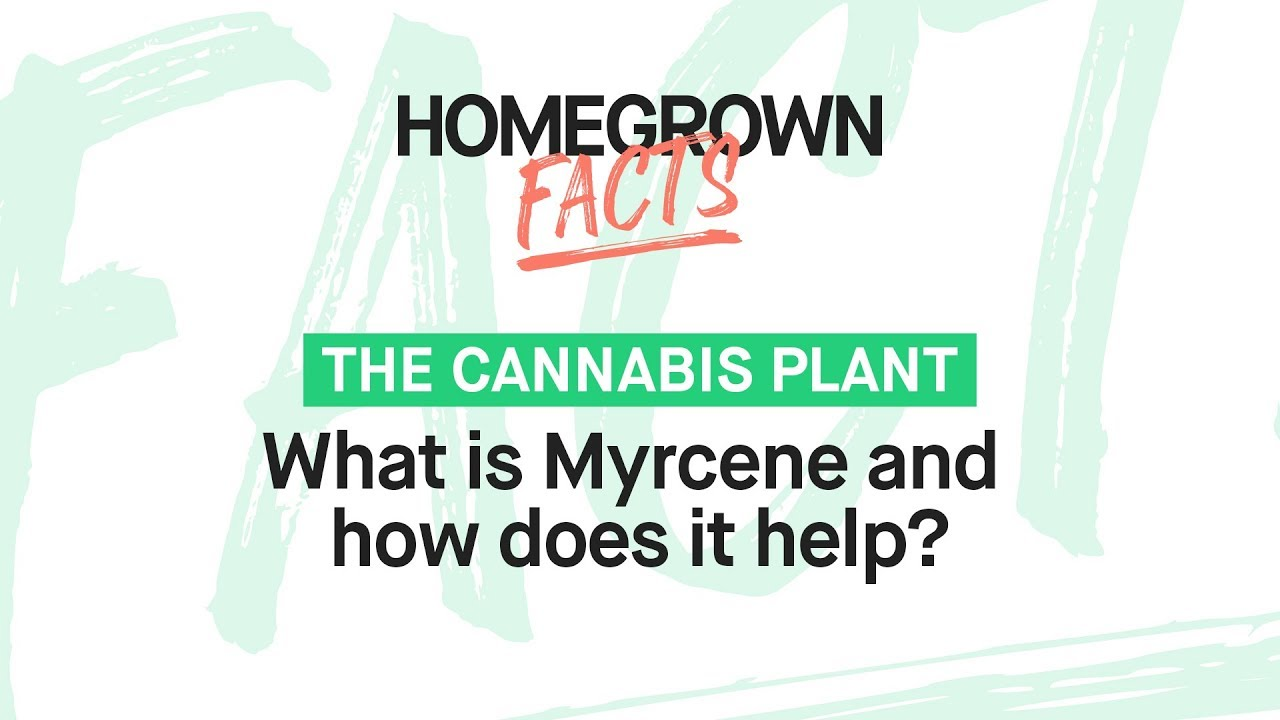 Myrcene: What Is It And How Does It Help?