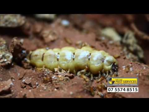 Termite life cycle - Gold Coast Pest Services