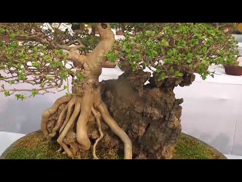 visit  minicher world (Bonsai).kolkata agri horticultural society in india