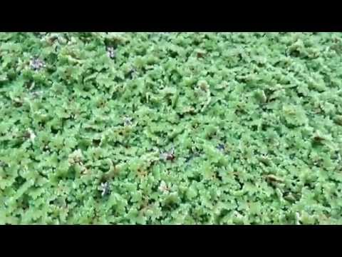 Azolla (LIVESTOCK FEED AND BIOFERTILIZER FOR RICE)