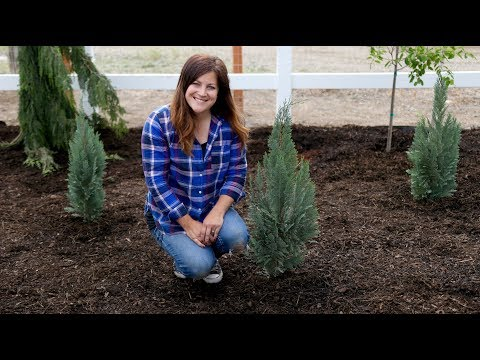 A Couple Great Evergreen Options for Small Spaces! 🌲👍// Garden Answer
