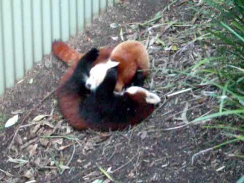 Red Pandas Fighting ! - YouTube