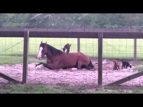 0 Cabritinha pulando em cima de um cavalo