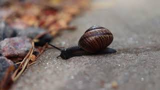 A snail making it's way to dinner