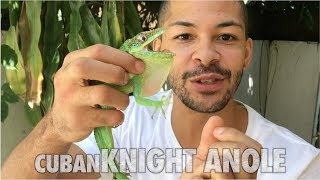 Largest Anole On The Planet Found In My Backyard | Nick The Wrangler