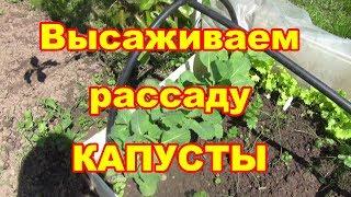 Посадите рассаду капусты этим способом и она будет вам благодарна!