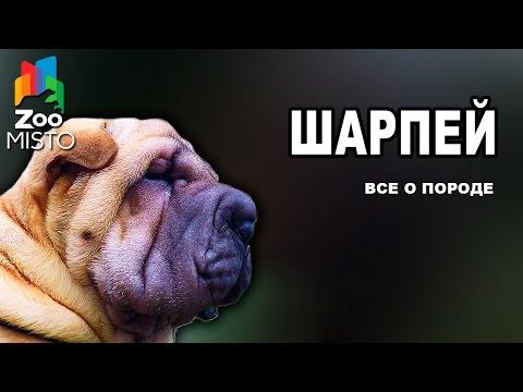 Шарпей - Все о породе собаки | Собака породы Шарпей
