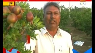 Dhule : Fruit Farm In Drought Hit Area