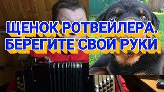 ЩЕНОК РОТВЕЙЛЕРА-БЕРЕГИТЕ СВОИ РУКИ. Дрессировка и воспитание собаки