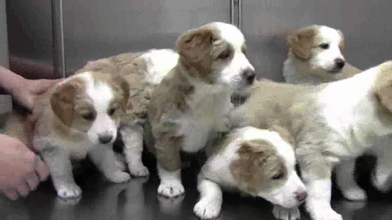 English Shepherd Puppies - YouTube