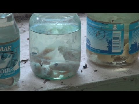 Chernobyl 2013: Radioactive Fish Of The Cooling Pond, Laboratory Samples