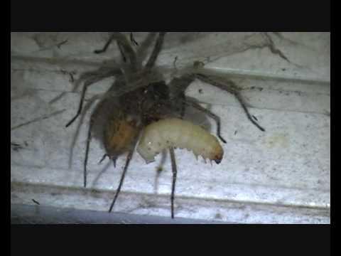 Biggest House Ever >> Biggest House Spider I've Ever Seen! - YouTube